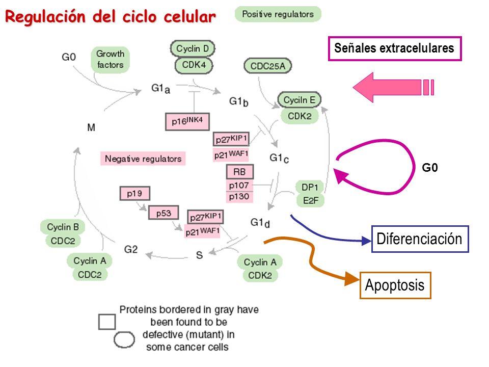 Señales extracelulares Diferenciación Apoptosis G0 Regulación del ciclo celular