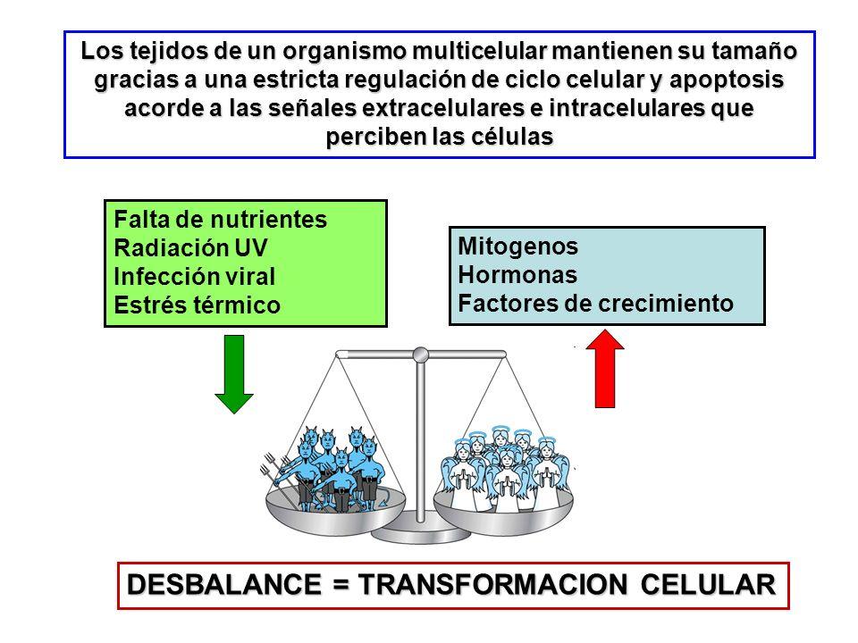 Tipos principales de Ciclinas Ciclinas G 1 /S: promueven el crecimento de la célula y la preparan para la replicación de su DNA Ciclinas S: son indispensables para la replicación del DNA Ciclinas M: regulan los eventos de la mitosis Ciclinas D: determinan si la célula entra o no en G 0