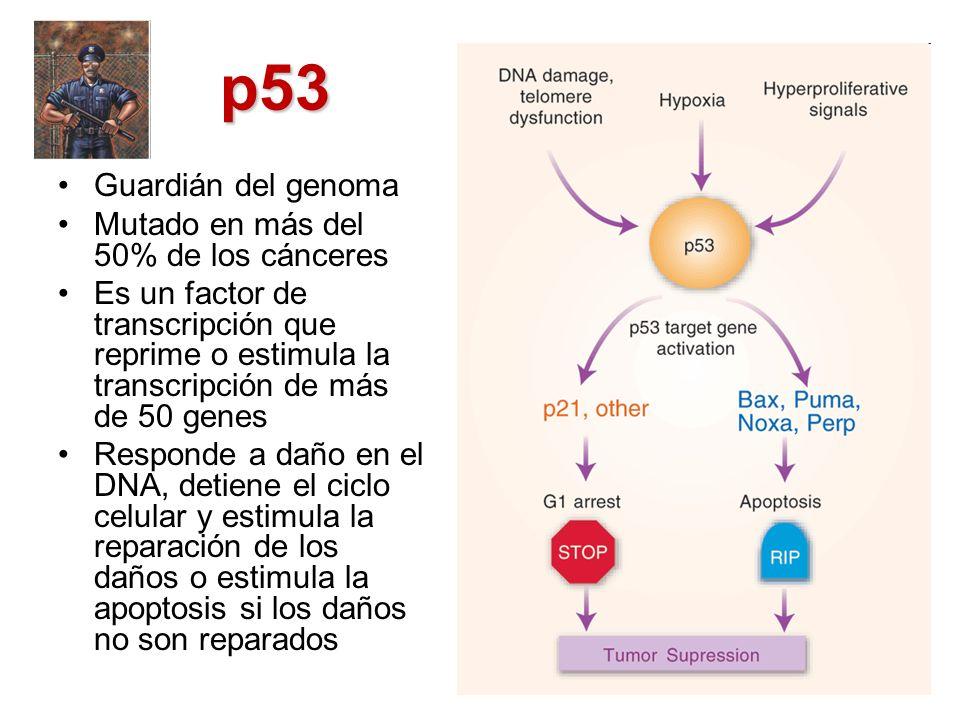 p53 Guardián del genoma Mutado en más del 50% de los cánceres Es un factor de transcripción que reprime o estimula la transcripción de más de 50 genes