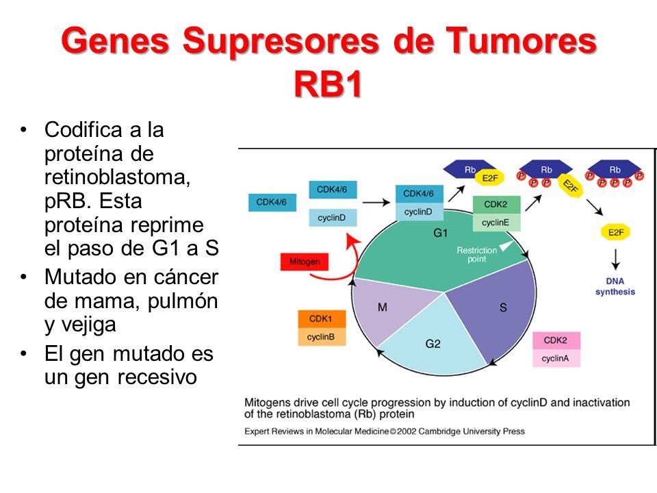Genes Supresores de Tumores RB1 Codifica a la proteína de retinoblastoma, pRB. Esta proteína reprime el paso de G1 a S Mutado en cáncer de mama, pulmó