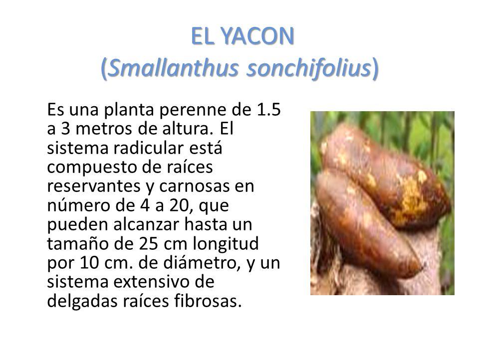 EL YACON (Smallanthus sonchifolius) Es una planta perenne de 1.5 a 3 metros de altura. El sistema radicular está compuesto de raíces reservantes y car