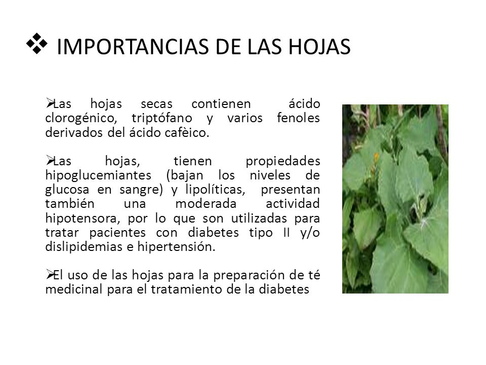 IMPORTANCIAS DE LAS HOJAS Las hojas secas contienen ácido clorogénico, triptófano y varios fenoles derivados del ácido cafèico.
