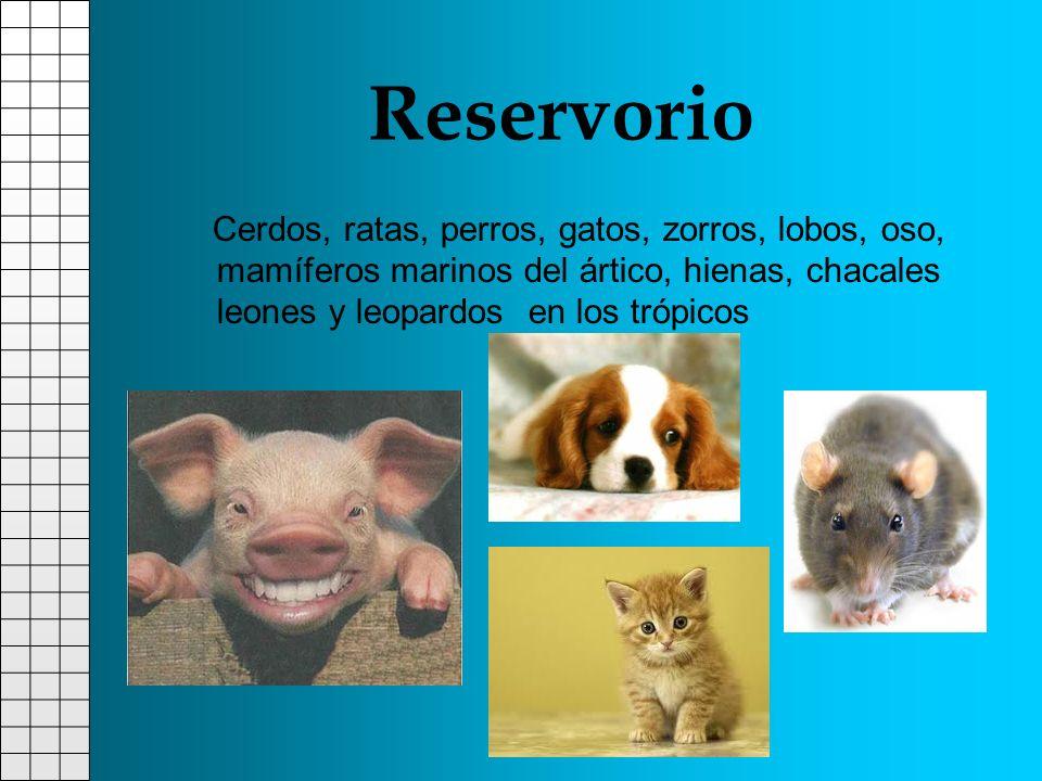 Cerdos, ratas, perros, gatos, zorros, lobos, oso, mamíferos marinos del ártico, hienas, chacales leones y leopardos en los trópicos Reservorio