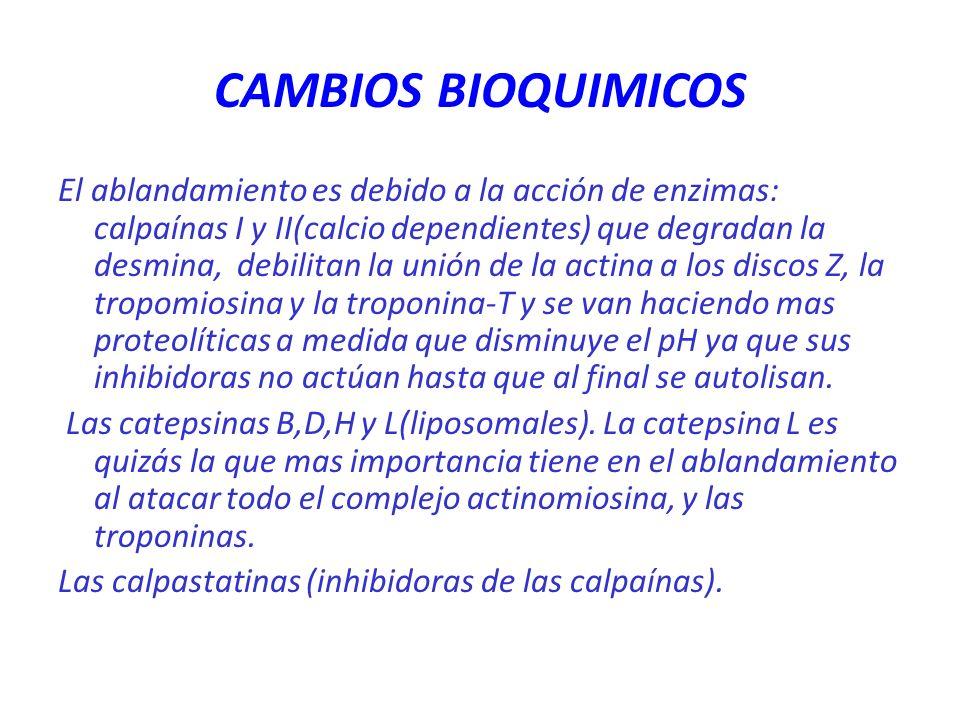 CAMBIOS BIOQUIMICOS El ablandamiento es debido a la acción de enzimas: calpaínas I y II(calcio dependientes) que degradan la desmina, debilitan la uni