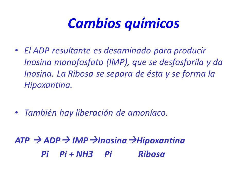 Cambios químicos El ADP resultante es desaminado para producir Inosina monofosfato (IMP), que se desfosforila y da Inosina. La Ribosa se separa de ést