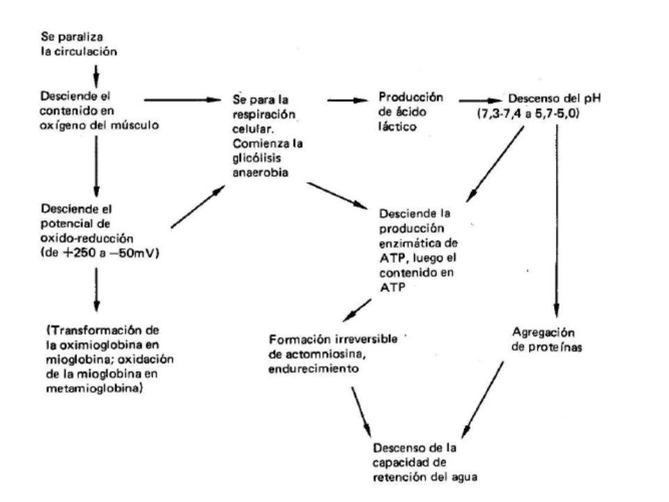 Con la muerte del animal y el cese del flujo sanguíneo, se sucede una serie de fenómenos: Cesa el aporte de oxígeno Cesa la fosforilación oxidativa y con ello el aporte de ATP aerobio.