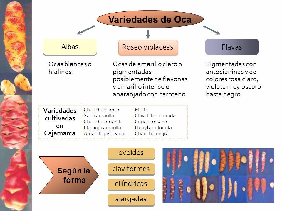 Roseo violáceas Flavas Ocas blancas o hialinos Ocas de amarillo claro o pigmentadas posiblemente de flavonas y amarillo intenso o anaranjado con carot