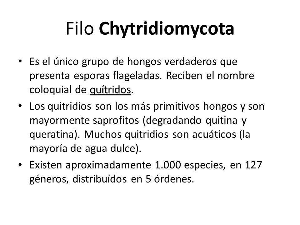 Filo Chytridiomycota quítridos Es el único grupo de hongos verdaderos que presenta esporas flageladas. Reciben el nombre coloquial de quítridos. Los q