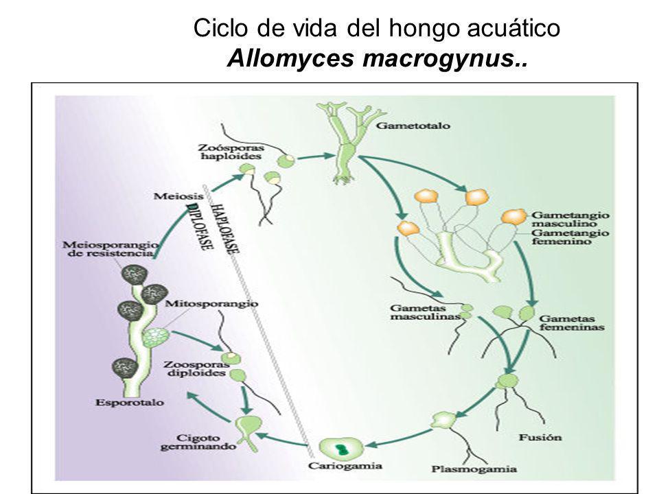 Ciclo de vida del hongo acuático Allomyces macrogynus..