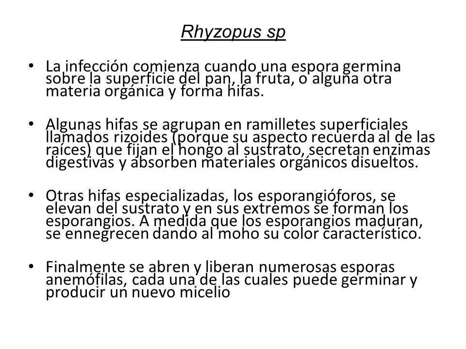 Rhyzopus sp La infección comienza cuando una espora germina sobre la superficie del pan, la fruta, o alguna otra materia orgánica y forma hifas. Algun
