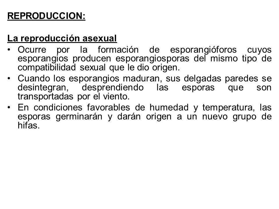 REPRODUCCION: La reproducción asexual Ocurre por la formación de esporangióforos cuyos esporangios producen esporangiosporas del mismo tipo de compati