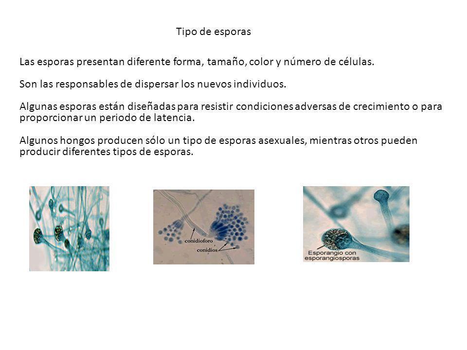 Las esporas presentan diferente forma, tamaño, color y número de células. Son las responsables de dispersar los nuevos individuos. Algunas esporas est