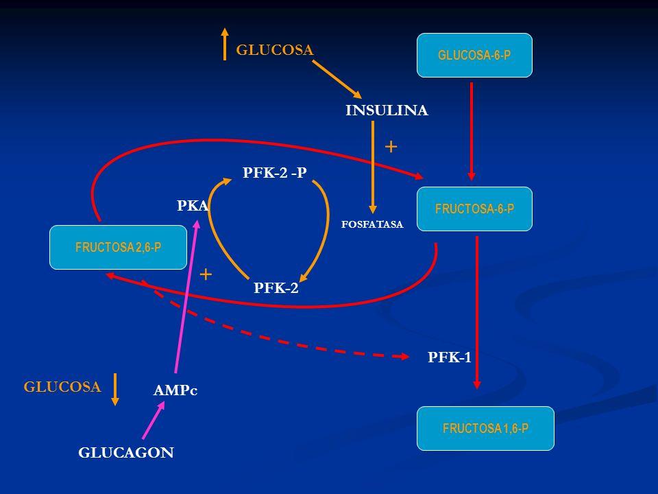 FRUCTOSA-6-P GLUCOSA-6-P FRUCTOSA 1,6-P FRUCTOSA 2,6-P PFK-1 PFK-2 PFK-2 -P FOSFATASA INSULINA GLUCOSA + GLUCAGON AMPc PKA + GLUCOSA