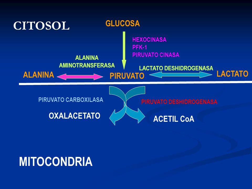 GLUCOSA PIRUVATO LACTATO ALANINA ACETIL CoA OXALACETATO CITOSOL MITOCONDRIA HEXOCINASA PFK-1 PIRUVATO CINASA LACTATO DESHIDROGENASA ALANINA AMINOTRANS