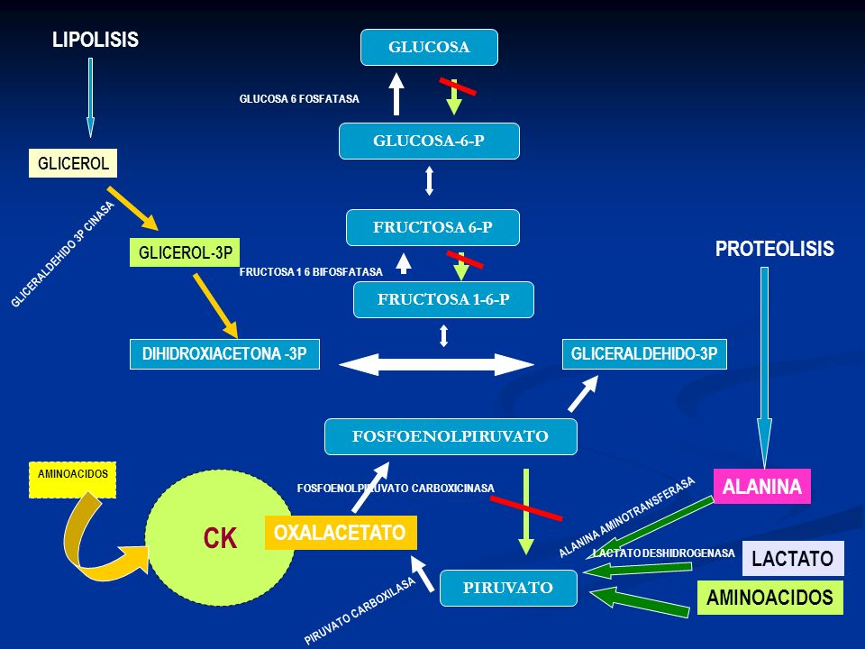 PIRUVATO FOSFOENOLPIRUVATO FRUCTOSA 1-6-P FRUCTOSA 6-P GLUCOSA-6-P GLUCOSA DIHIDROXIACETONA -3PGLICERALDEHIDO-3P CK AMINOACIDOS OXALACETATO ALANINA LA