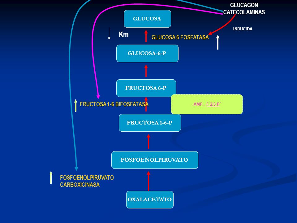 OXALACETATO FOSFOENOLPIRUVATO FRUCTOSA 1-6-P FRUCTOSA 6-P GLUCOSA-6-P GLUCOSA -AMP, -F-2,6-P´ INDUCIDA FOSFOENOLPIRUVATO CARBOXICINASA FRUCTOSA 1-6 BI