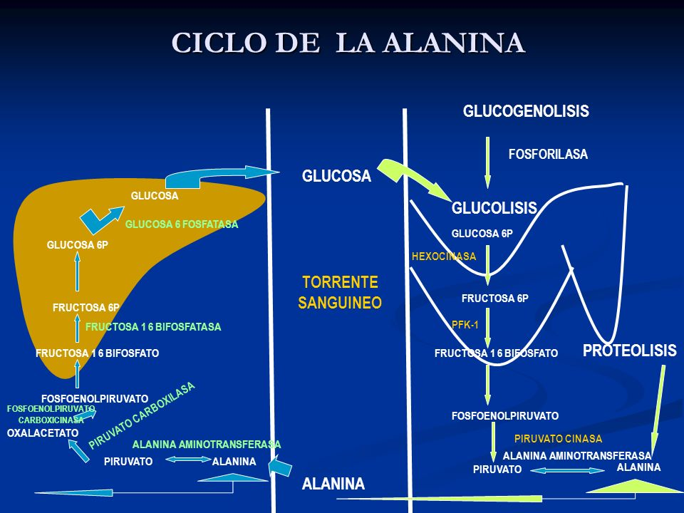 CICLO DE LA ALANINA GLUCOGENOLISIS FOSFORILASA GLUCOLISIS GLUCOSA 6P FRUCTOSA 6P FRUCTOSA 1 6 BIFOSFATO FOSFOENOLPIRUVATO PIRUVATO ALANINA PIRUVATO FO