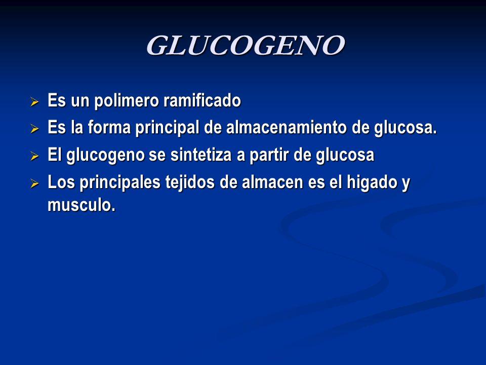 GLUCOGENO Es un polimero ramificado Es un polimero ramificado Es la forma principal de almacenamiento de glucosa. Es la forma principal de almacenamie