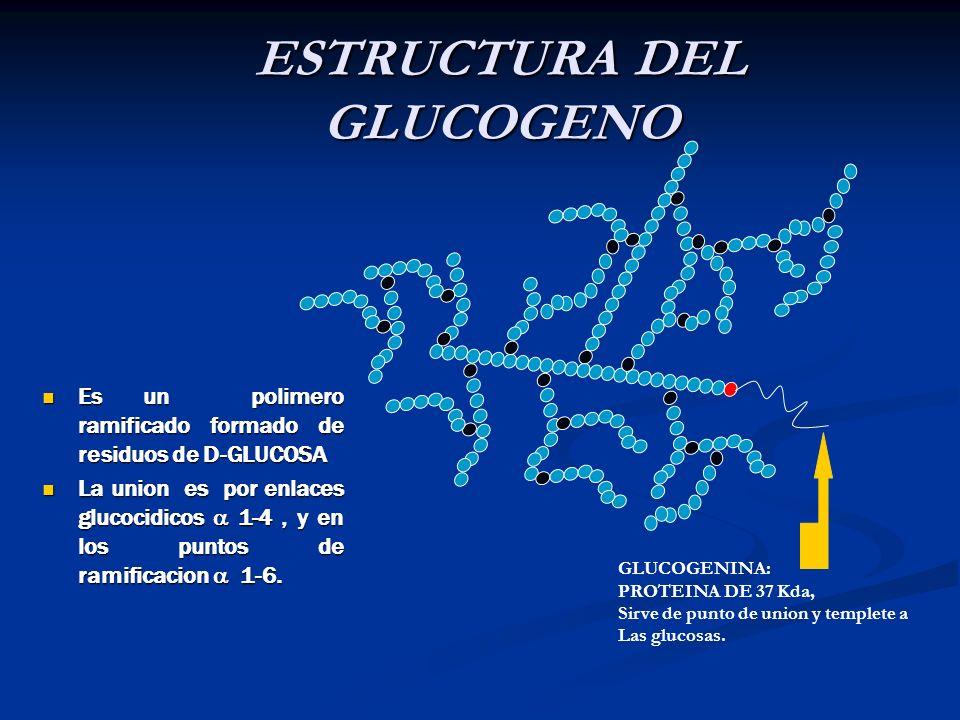 ESTRUCTURA DEL GLUCOGENO Es un polimero ramificado formado de residuos de D-GLUCOSA Es un polimero ramificado formado de residuos de D-GLUCOSA La unio