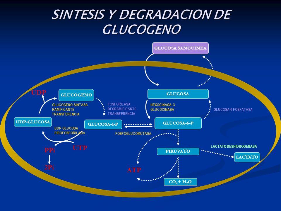 GLUCOSA SANGUINEA GLUCOSA GLUCOSA-6-P PIRUVATO CO 2 + H 2 O LACTATO GLUCOSA-1-P GLUCOGENO UDP-GLUCOSA ATP UTP PPi 2Pi UDP SINTESIS Y DEGRADACION DE GL