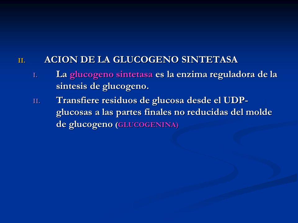 II. ACION DE LA GLUCOGENO SINTETASA I. La glucogeno sintetasa es la enzima reguladora de la sintesis de glucogeno. II. Transfiere residuos de glucosa