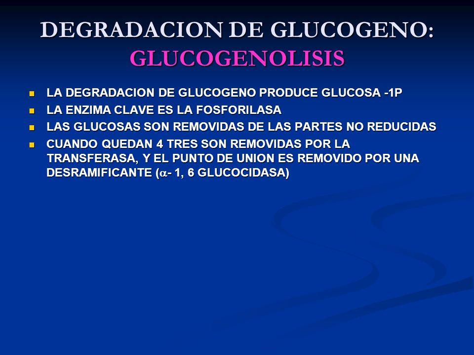 DEGRADACION DE GLUCOGENO: GLUCOGENOLISIS LA DEGRADACION DE GLUCOGENO PRODUCE GLUCOSA -1P LA DEGRADACION DE GLUCOGENO PRODUCE GLUCOSA -1P LA ENZIMA CLA