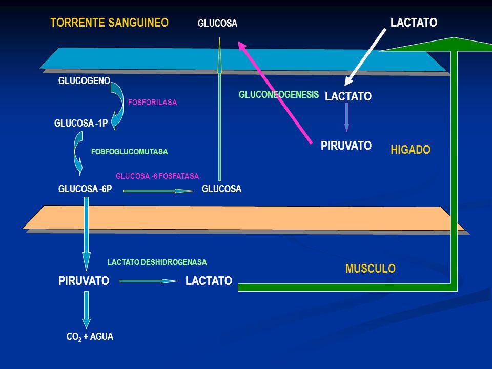 GLUCOGENO GLUCOSA -1P GLUCOSA -6P HIGADO MUSCULO PIRUVATOLACTATO CO 2 + AGUA GLUCOSA TORRENTE SANGUINEO FOSFORILASA FOSFOGLUCOMUTASA GLUCOSA -6 FOSFAT