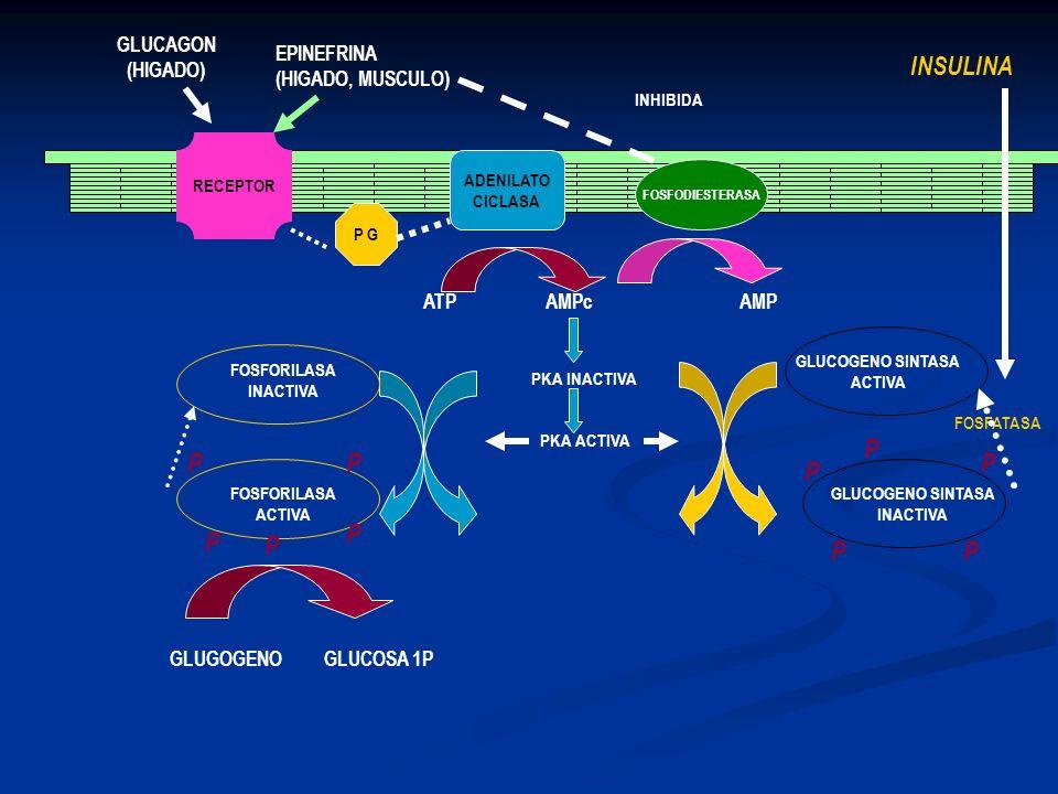 FOSFATASA RECEPTOR P G ADENILATO CICLASA FOSFODIESTERASA GLUCAGON (HIGADO) EPINEFRINA (HIGADO, MUSCULO) ATP AMPc AMP INHIBIDA PKA INACTIVA PKA ACTIVA
