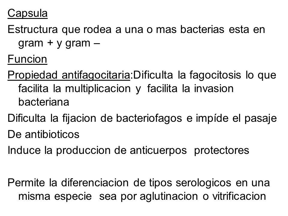 Capsula Estructura que rodea a una o mas bacterias esta en gram + y gram – Funcion Propiedad antifagocitaria:Dificulta la fagocitosis lo que facilita la multiplicacion y facilita la invasion bacteriana Dificulta la fijacion de bacteriofagos e impíde el pasaje De antibioticos Induce la produccion de anticuerpos protectores Permite la diferenciacion de tipos serologicos en una misma especie sea por aglutinacion o vitrificacion