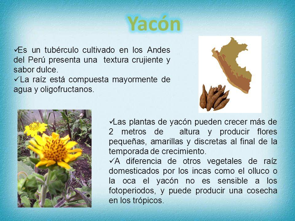 Es un tubérculo cultivado en los Andes del Perú presenta una textura crujiente y sabor dulce. La raíz está compuesta mayormente de agua y oligofructan