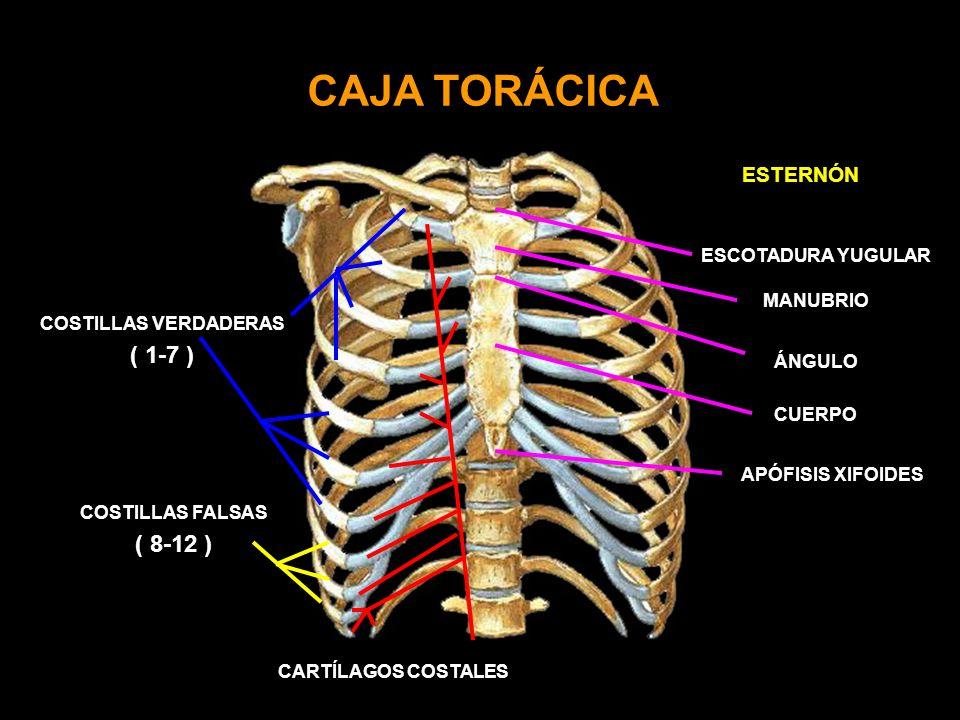 CAJA TORÁCICA COSTILLAS VERDADERAS ( 1-7 ) COSTILLAS FALSAS ( 8-12 ) ESTERNÓN CARTÍLAGOS COSTALES ESCOTADURA YUGULAR ÁNGULO CUERPO APÓFISIS XIFOIDES MANUBRIO