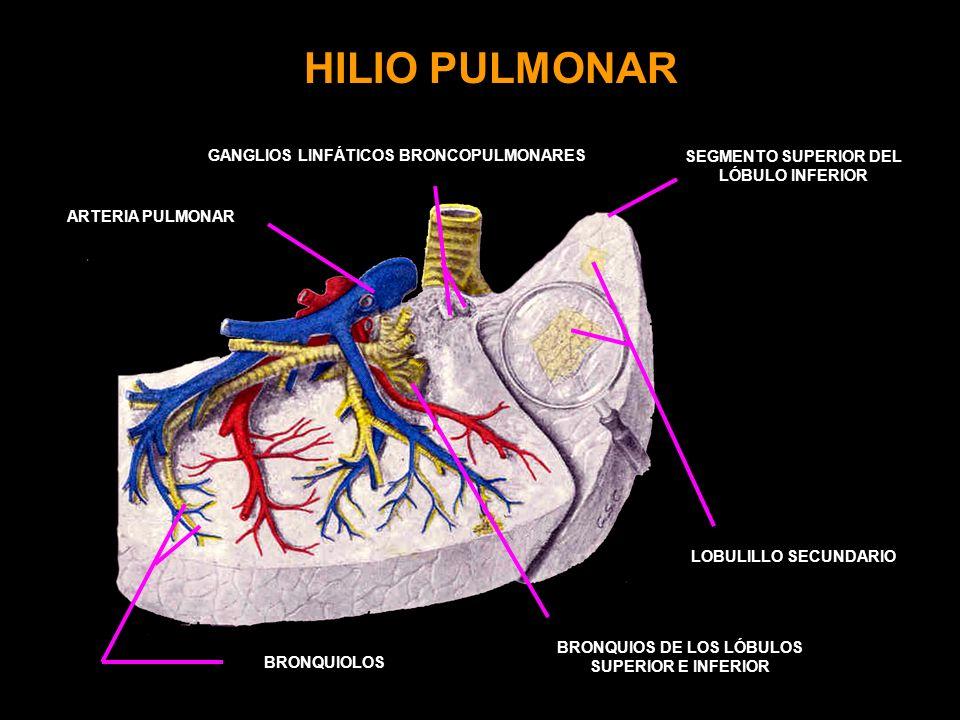 HILIO PULMONAR ARTERIA PULMONAR LOBULILLO SECUNDARIO BRONQUIOS DE LOS LÓBULOS SUPERIOR E INFERIOR SEGMENTO SUPERIOR DEL LÓBULO INFERIOR BRONQUIOLOS GANGLIOS LINFÁTICOS BRONCOPULMONARES