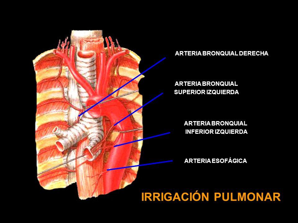 IRRIGACIÓN PULMONAR ARTERIA BRONQUIAL SUPERIOR IZQUIERDA ARTERIA BRONQUIAL INFERIOR IZQUIERDA ARTERIA ESOFÁGICA ARTERIA BRONQUIAL DERECHA