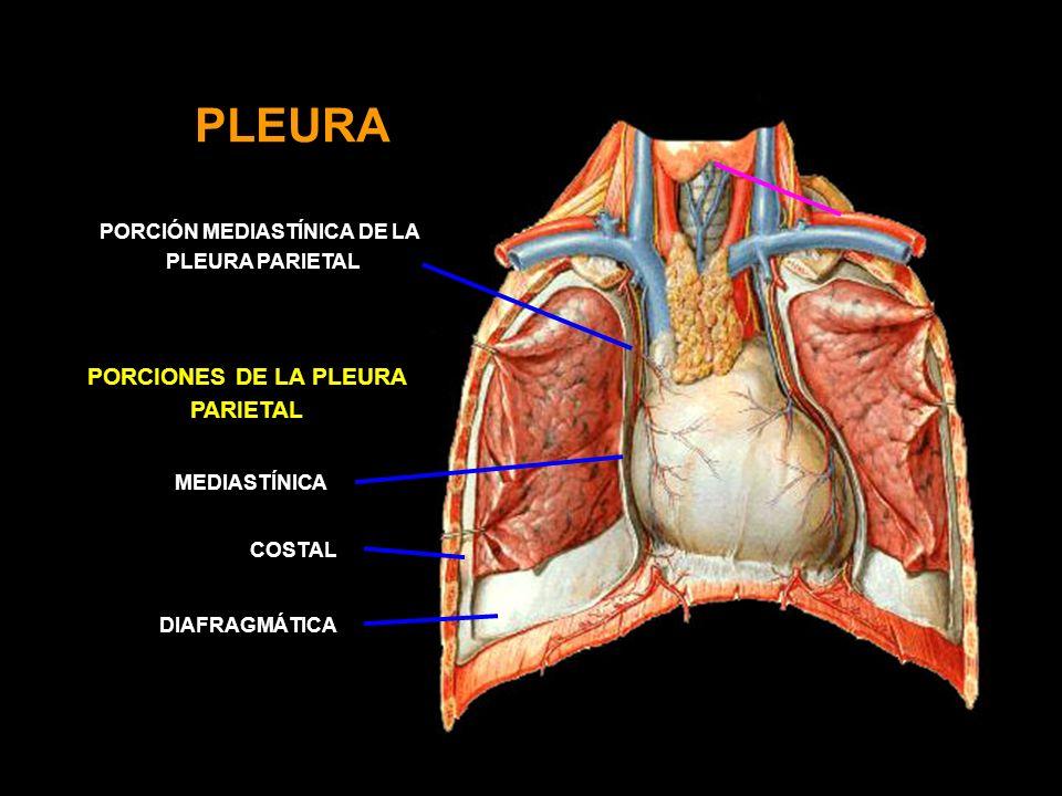 PLEURA DIAFRAGMÁTICA PORCIONES DE LA PLEURA PARIETAL PORCIÓN MEDIASTÍNICA DE LA PLEURA PARIETAL MEDIASTÍNICA COSTAL