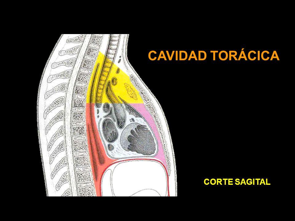 CAVIDAD TORÁCICA CORTE SAGITAL