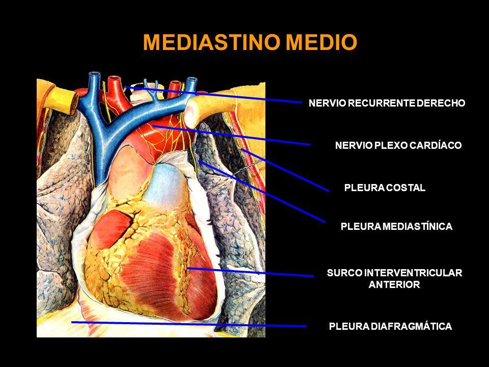 MEDIASTINO MEDIO NERVIO PLEXO CARDÍACO PLEURA COSTAL SURCO INTERVENTRICULAR ANTERIOR PLEURA MEDIASTÍNICA NERVIO RECURRENTE DERECHO PLEURA DIAFRAGMÁTICA