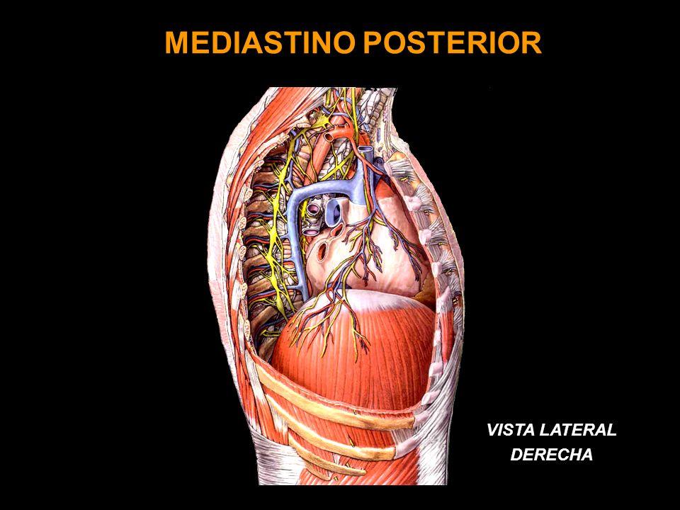 ACROMIO N MEDIASTINO POSTERIOR VISTA LATERAL DERECHA