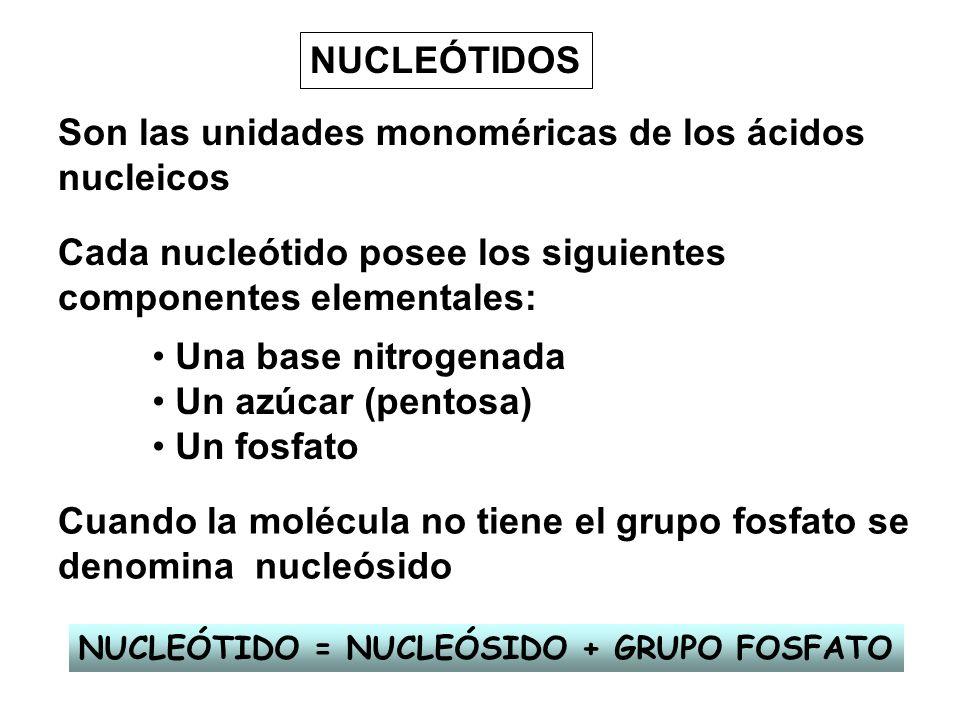 NUCLEÓTIDOS Son las unidades monoméricas de los ácidos nucleicos Cada nucleótido posee los siguientes componentes elementales: Una base nitrogenada Un
