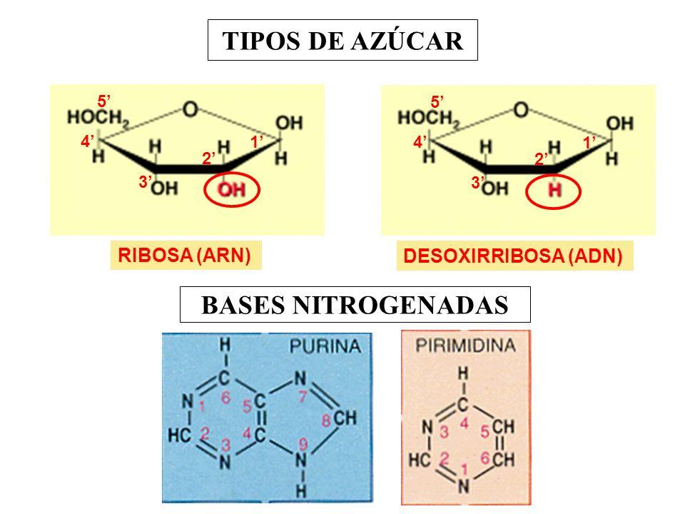 TIPOS DE AZÚCAR RIBOSA (ARN) 1 2 3 4 5 DESOXIRRIBOSA (ADN) 1 2 3 4 5 BASES NITROGENADAS
