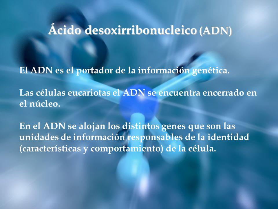 Ácido desoxirribonucleico (ADN) El ADN es el portador de la información genética. Las células eucariotas el ADN se encuentra encerrado en el núcleo. E