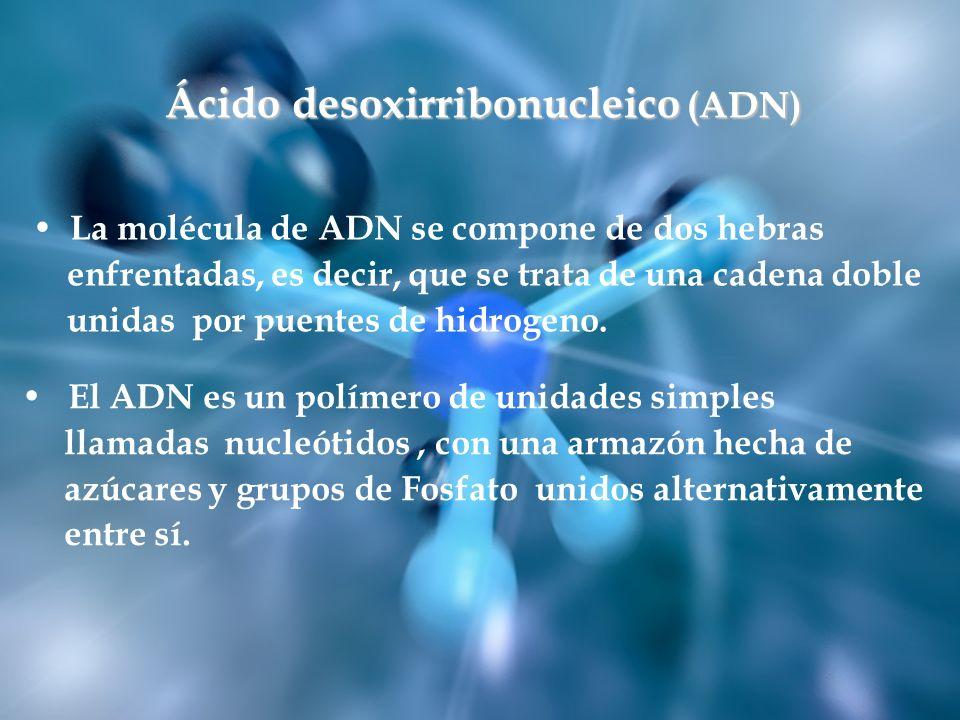 El ADN es un polímero de unidades simples llamadas nucleótidos, con una armazón hecha de azúcares y grupos de Fosfato unidos alternativamente entre sí