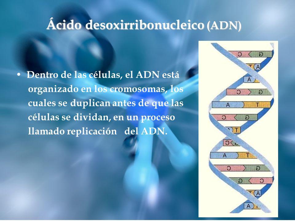 Dentro de las células, el ADN está organizado en los cromosomas, los cuales se duplican antes de que las células se dividan, en un proceso llamado rep