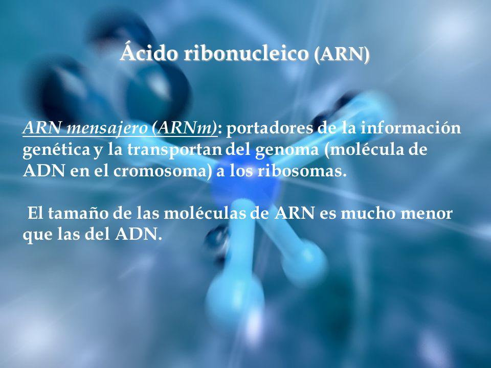 ARN mensajero (ARNm) : portadores de la información genética y la transportan del genoma (molécula de ADN en el cromosoma) a los ribosomas. El tamaño