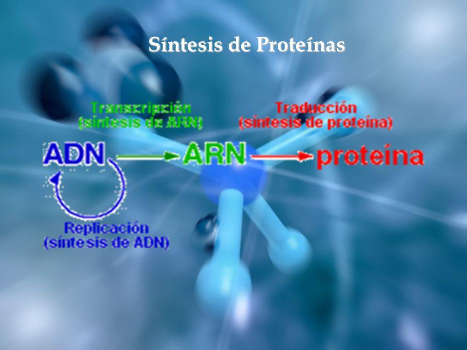 La síntesis de proteínas o traducción tiene lugar en los ribosomas del citoplasma celular.