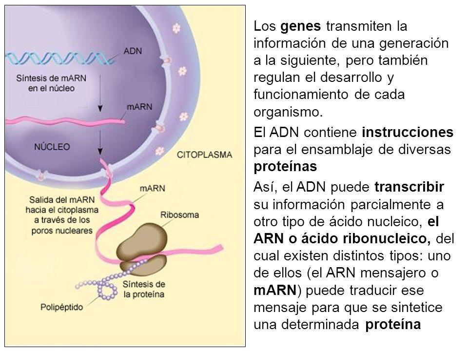 Los genes transmiten la información de una generación a la siguiente, pero también regulan el desarrollo y funcionamiento de cada organismo. El ADN co