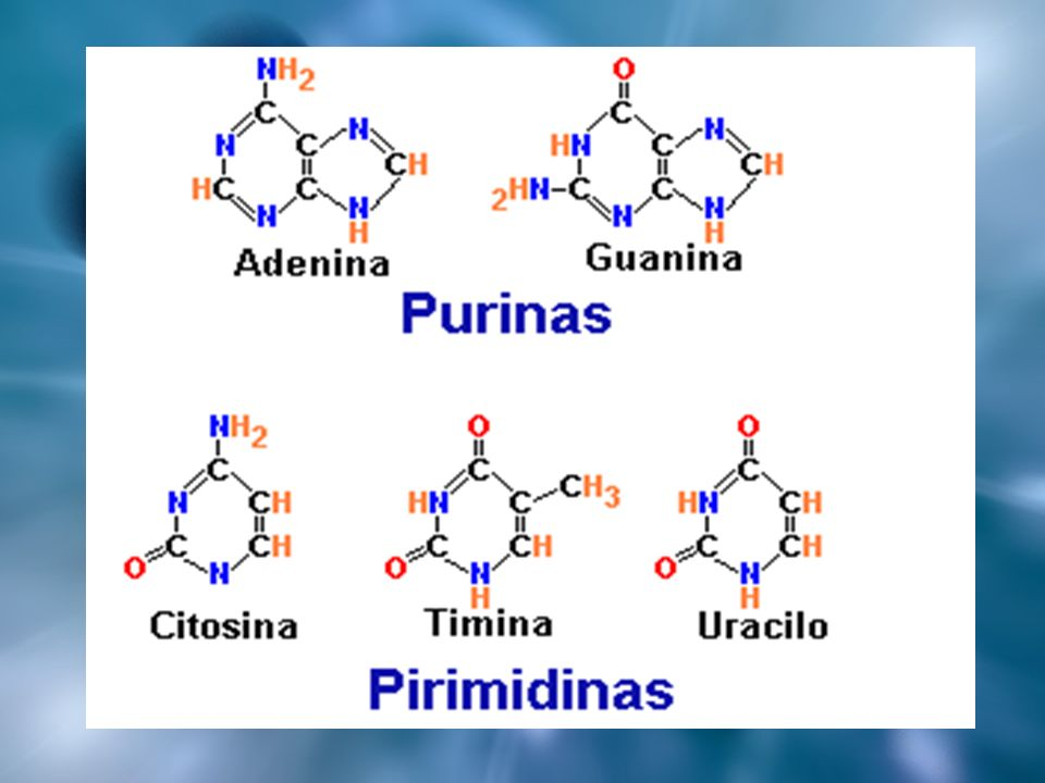NUCLEÓTIDOS Son las unidades monoméricas de los ácidos nucleicos Cada nucleótido posee los siguientes componentes elementales: Una base nitrogenada Un azúcar (pentosa) Un fosfato Cuando la molécula no tiene el grupo fosfato se denomina nucleósido NUCLEÓTIDO = NUCLEÓSIDO + GRUPO FOSFATO