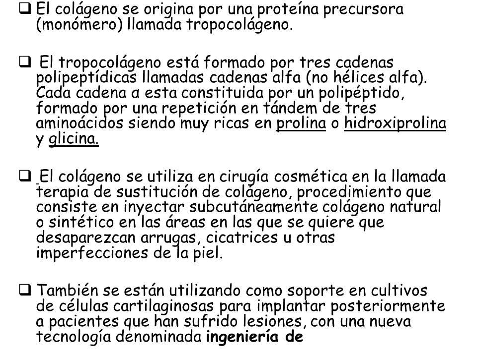 El colágeno se origina por una proteína precursora (monómero) llamada tropocolágeno. El tropocolágeno está formado por tres cadenas polipeptídicas lla
