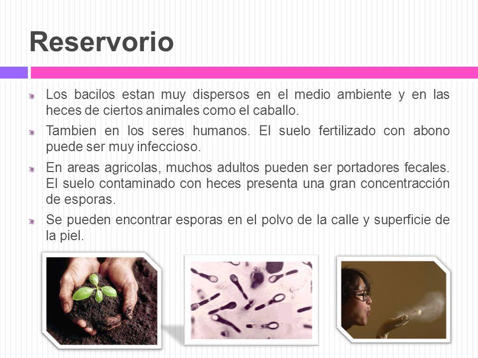 Reservorio Los bacilos estan muy dispersos en el medio ambiente y en las heces de ciertos animales como el caballo. Tambien en los seres humanos. El s