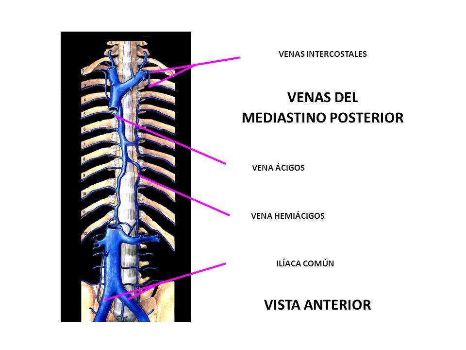 NERVIO FRÉNICO DERECHO NERVIO FRÉNICO IZQUIERDO NERVIO VAGO IZQUIERDO ( X ) NERVIOS CARDÍACOS TORÁCICOS NERVIO LARINGE RECURRENTE IZQUIERDO NERVIO FRÉNICO