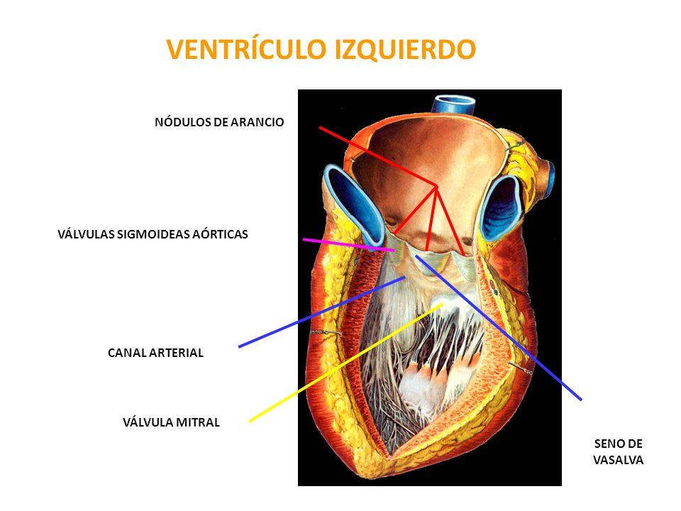 VENTRÍCULO IZQUIERDO NÓDULOS DE ARANCIO VÁLVULAS SIGMOIDEAS AÓRTICAS CANAL ARTERIAL VÁLVULA MITRAL SENO DE VASALVA